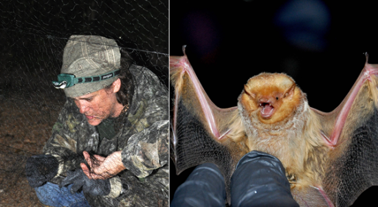 Becky Rosamond, USFWS wildlife biologist, removes a bat from a mistnet at Dahomey.