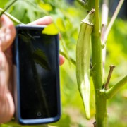 "The unique ""Heavy Hitter"" strain of okra in the DSU Wiley Community Garden makes an iPhone 5 look small."